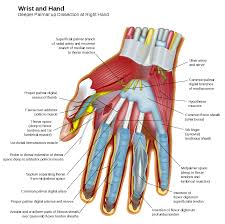 Fascia Chart Muscles Of The Hand Wikipedia