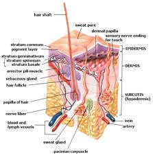 Human Body Muscle Tissue Hd Images Human Body Muscle Tissue