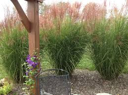 Tall Decorative Grass Planting And Dividing Ornamental Grasses On The Cheap Old World
