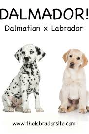 Dalmador Everything You Need To Know About The Dalmatian