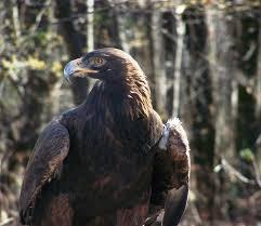 Golden Eagle Hawk Mountain Sanctuary Learn Visit Join