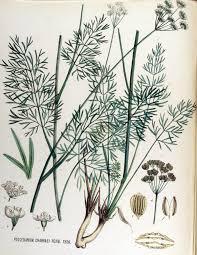 Peucedanum carvifolia - Wikipedia, la enciclopedia libre