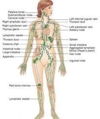 Lymph Node Diagram Of Body Tvetx9s2 Lymphatic Drainage