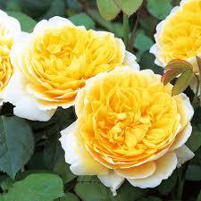 Charlotte | English Shrub Rose | David Austin Roses