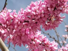 Erguvan Çiçeği ile ilgili görsel sonucu