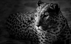 black and white cheetah wallpaper 1920x1200 resolution 20180628