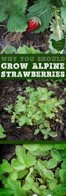 add some charm to your garden with alpine strawberries they re a true perennial