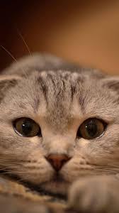 cat wallpaper iphone 6. Modren Iphone Cute Cat Wallpaper For IPhone 6 Plus HD On Iphone Pinterest