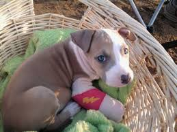 A Guide To The Stages Of Pit Bull Puppy Development