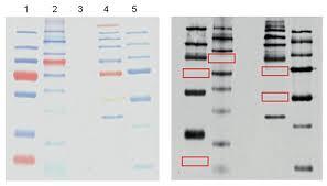 Western Blot Analysis Using Blue Ladder Hrp Monoclonal Antibody