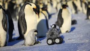 emperor penguins eating. Contemporary Eating A Remote Controlled Chickonwheels Meets The Real Thing And Provokes  Interest With Emperor Penguins Eating N