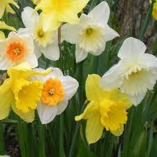 mixed daffodils 25kg