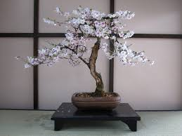 Cherry Bonsai Kaufen