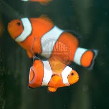 black and orange clown fish. Plain Clown Amphiprion_ocellaris_Blaze_Orange_Clownfish_juv6   Amphiprion_ocellaris_Blaze_Orange_Clownfish_juv Amphiprion_ocellaris_Blaze_Orange_Clownfish_juv2 Inside Black And Orange Clown Fish T