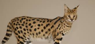 savannah cat breeder