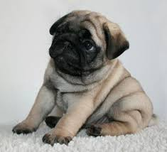 really cute pug puppies. Wonderful Pug Cute Pug Puppy Rolly Polly LOL More In Really Puppies