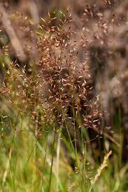 Agrostis rupestris