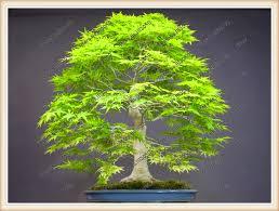 50pcsbag japanese bonsai maple tree seeds mini bonsai tree for indoor plant can put bonsai tree office table