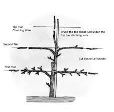 Best 25 Pruning Olive Trees Ideas On Pinterest  Olive Tree Pruning Fruit Trees Video