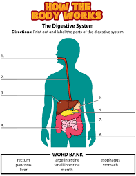 digestive system and how it works activity digestive system