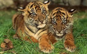 cute baby tiger. Modren Cute Cute Baby Tiger Throughout Y