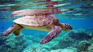hd wallpapers 1080p underwater. Beautiful 1080p 1920x1080 Wallpaper Turtle Underwater Swimming Water Throughout Hd Wallpapers 1080p Underwater L