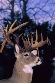 Expectations are high for buck season | Outdoor Pursuits | wvgazettemail.com