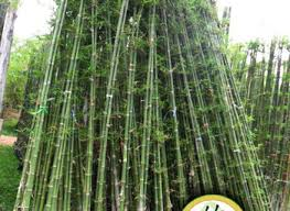 Growing Bamboo Plants In Containers, Tall Screening Plants In Pots