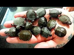 Baby Painted Turtles That Are 1 Day Old