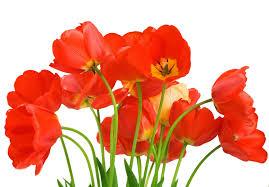 love rose flower 800 556 transp png