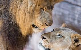 hd wallpaper lion lioness love