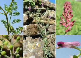 Fumaria officinalis L. subsp. officinalis - Portale sulla flora del basso ...