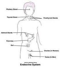 endocrine system and worksheets on pinterestcc sci wk  endocrine system labeled   bing images