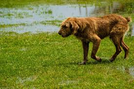 Snake Bite in Dogs - Symptoms, Causes, Diagnosis, Treatment ...