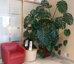 tall indoor plants large house for safe dogs houseplants that need little light tall indoor plants