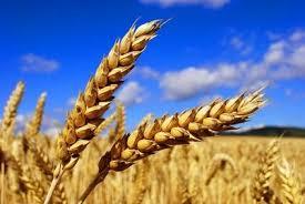 """Résultat de recherche d'images pour """"blé tendre"""""""