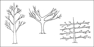 Pruning Fruit Trees For Better Orchard Management  The Rural NZFruit Tree Shapes