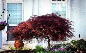 Japanese Maple Growth Chart The Complete Japanese Maple Guide The Tree Center
