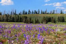 unique wyoming wildflowers sheridana