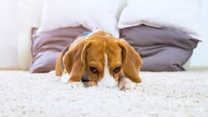 dog urine smell out of your carpet