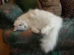 Resultado de imagen para imagenes de gato angora turco