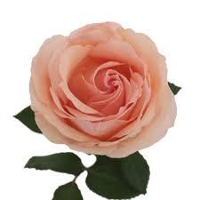 garden roses. Perfumela Peach Garden Roses E