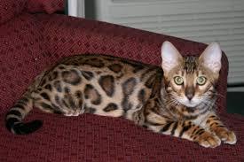 picture of bengal cat bearbrook bengals
