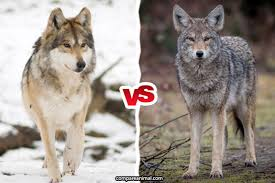 Wolf Vs Dog Size Chart Compare Coyote Vs Gray Wolf Compare Animal