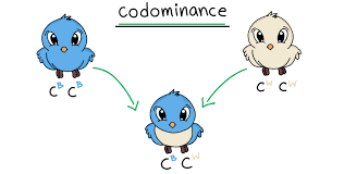 Codominance is contrary to typical mendelian genetics, in that no one allele is dominant to the other, so they are both expressed equally. Codominance Overview Examples Expii