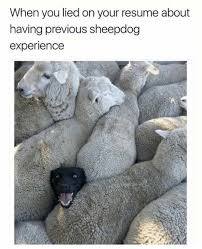 When You Lied On Your Resume About Having Previous Sheepdog Unique When You Lie On Your Resume