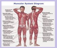 muscular system diagram   charts   diagrams   graphsmuscular system diagram