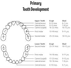 Canine Tooth Eruption Chart Questions About Tooth Eruption Smiles Of Virginia