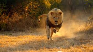 brand new 2018 lion doentary king of the jungle hd