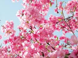 How To Grow Cherries  RHS GardeningWhen Do Cherry Trees Bear Fruit
